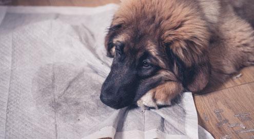 Hilfe! Mein Hund uriniert in die Wohnung; Was jetzt?