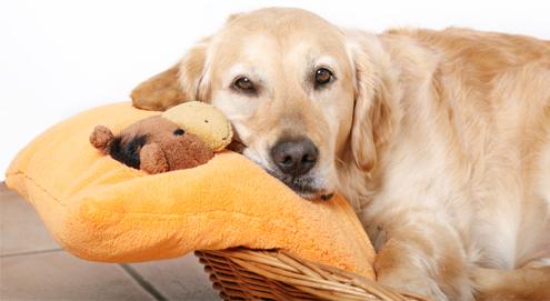 Scheinträchtigkeit bei Hunden