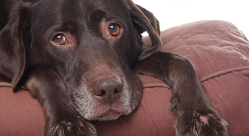 Voorhuidontsteking en -reiniging bij de hond